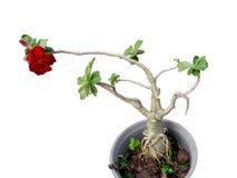 Les fleurs rouges sont dans le pot Images libres de droits