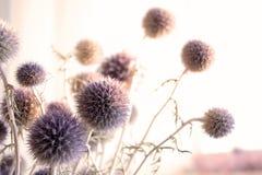 Les fleurs sèches d'un chardon Photo libre de droits