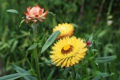 Les fleurs sèches multicolores fleurissent pendant l'été dans le jardin photos libres de droits
