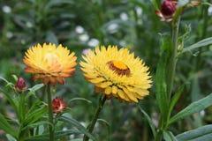 Les fleurs sèches multicolores fleurissent pendant l'été dans le jardin photographie stock