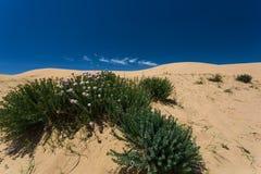 Les fleurs sauvages de floraison de désert Photographie stock libre de droits