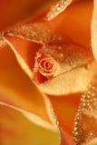 Les fleurs se sont levées photographie stock libre de droits