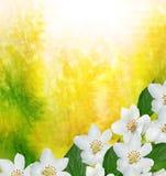 Les fleurs sensibles de ressort de branche Photographie stock