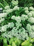 Les fleurs sont blanches centrales Images libres de droits