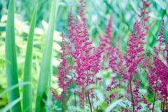 Les fleurs sont des astilbes Photo libre de droits