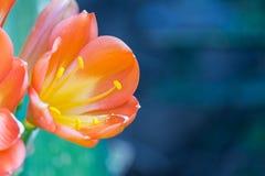 Les fleurs sur le succulent Image libre de droits
