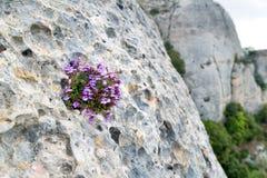 Les fleurs violettes se développent sur la roche Image stock