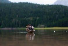 Les flotteurs de canard photo libre de droits