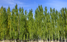 Les forêts de peuplier blanc Photographie stock libre de droits