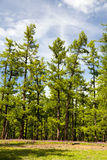 Les forêts du nord de la Mongolie Image stock