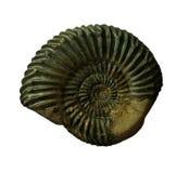 Les fossiles d'ammonites sur le fond de whte Photo stock