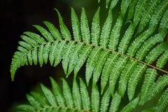 Les fougères de Beautyful laisse à feuillage vert le backgro floral naturel de fougère images libres de droits