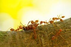 Les fourmis dans un arbre portant une mort branchent sur table d'écoute Photographie stock libre de droits