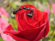 Les fourmis de jardin embrassant sur se sont levées Image stock