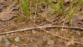 Les fourmis de travail dures errant sur la forêt ont rectifié dans la vidéo de plan rapproché d'été banque de vidéos