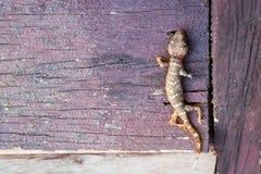 Les fourmis grouillent mange les carcasses du gecko mort photos stock
