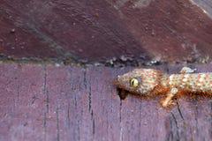 Les fourmis grouillent mange les carcasses du gecko mort photo stock
