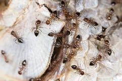 Les fourmis mangent des poissons fin Image libre de droits