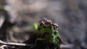 Les fourmis se régalent de l'insecte vert au jardin d'arrière-cour clips vidéos