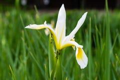 Les fourmis sont dures au travail sur un autre iris blanc Photographie stock libre de droits