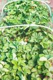 Les fraises enfoncent couvert de maille protectrice des oiseaux Photo stock