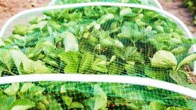 Les fraises enfoncent couvert de maille protectrice des oiseaux Photos stock