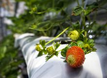 Les fraises portent des fruits s'élevant en serre chaude photo stock