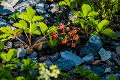 Les fraises se développent parmi des pierres Images libres de droits