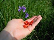 Les fraises sur sa paume parmi les clairières des jacinthes des bois photographie stock