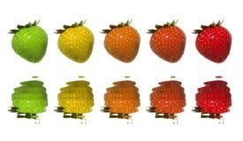 Les fraises verdissent au rouge Photos libres de droits