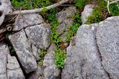 Les fraisiers communs et toute autre flore se développent dans les crevasses des roches image stock
