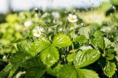 Les fraisiers sous l'eau se laisse tomber dans le domaine au printemps ou l'heure d'été image stock