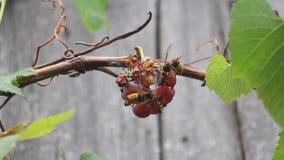 Les frelons et les mouches mangent des raisins banque de vidéos