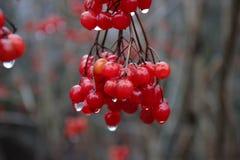 Les fruits d'un guelder se sont levés un jour pluvieux en hiver image stock