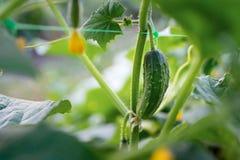 Les fruits de concombre se développent et sont prêts pour la moisson Variété o Images libres de droits