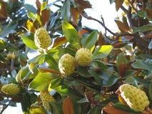 Les fruits de la magnolia Photos libres de droits