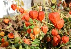 Les fruits de peruviana de Physalis moissonnent le coqueret comestible de fleur de Physalis ou dans le jardin d'automne Photos libres de droits