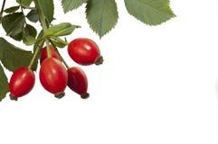 Les fruits rouges du sauvage se sont levés Images stock