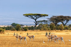 Les gazelles de Grant Photos stock