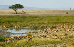 Les gazelles de Thompson Images stock