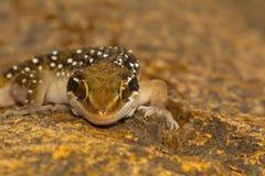 Les geckos de colline de termite sont des geckos assez grands qui soutiennent les bandes distinctes sur leur dorsum photos stock