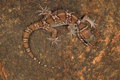 Les geckos de colline de termite sont des geckos assez grands qui soutiennent les bandes distinctes sur leur dorsum images stock