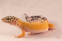 Les geckos de léopard ouvrent la bouche Image stock