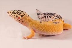 Les geckos de léopard ouvrent la bouche Images stock