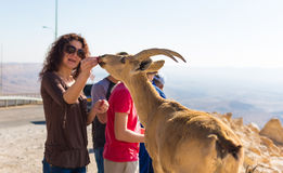 Les gens alimentent la chèvre de montagne sauvage Photo libre de droits