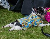 Les gens et les animaux familiers s'habillent de même dans des costumes mignons en caoutchouc pour Duck Races photographie stock libre de droits