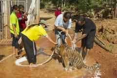 Les gens lavent le tigre indochinois dans Saiyok, Thaïlande Photo libre de droits