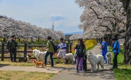 Les gens marchant avec des chiens aux fleurs de cerisier photographie stock