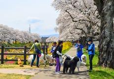 Les gens marchant avec des chiens aux fleurs de cerisier image libre de droits