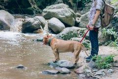 Les gens marchant avec des chiens de pitbull en vacances photographie stock libre de droits